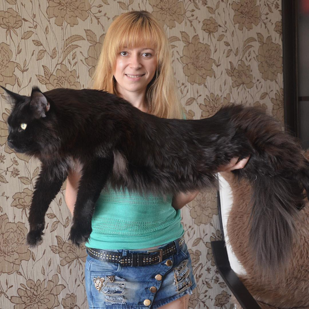 Foma of MarvelForest maine coon