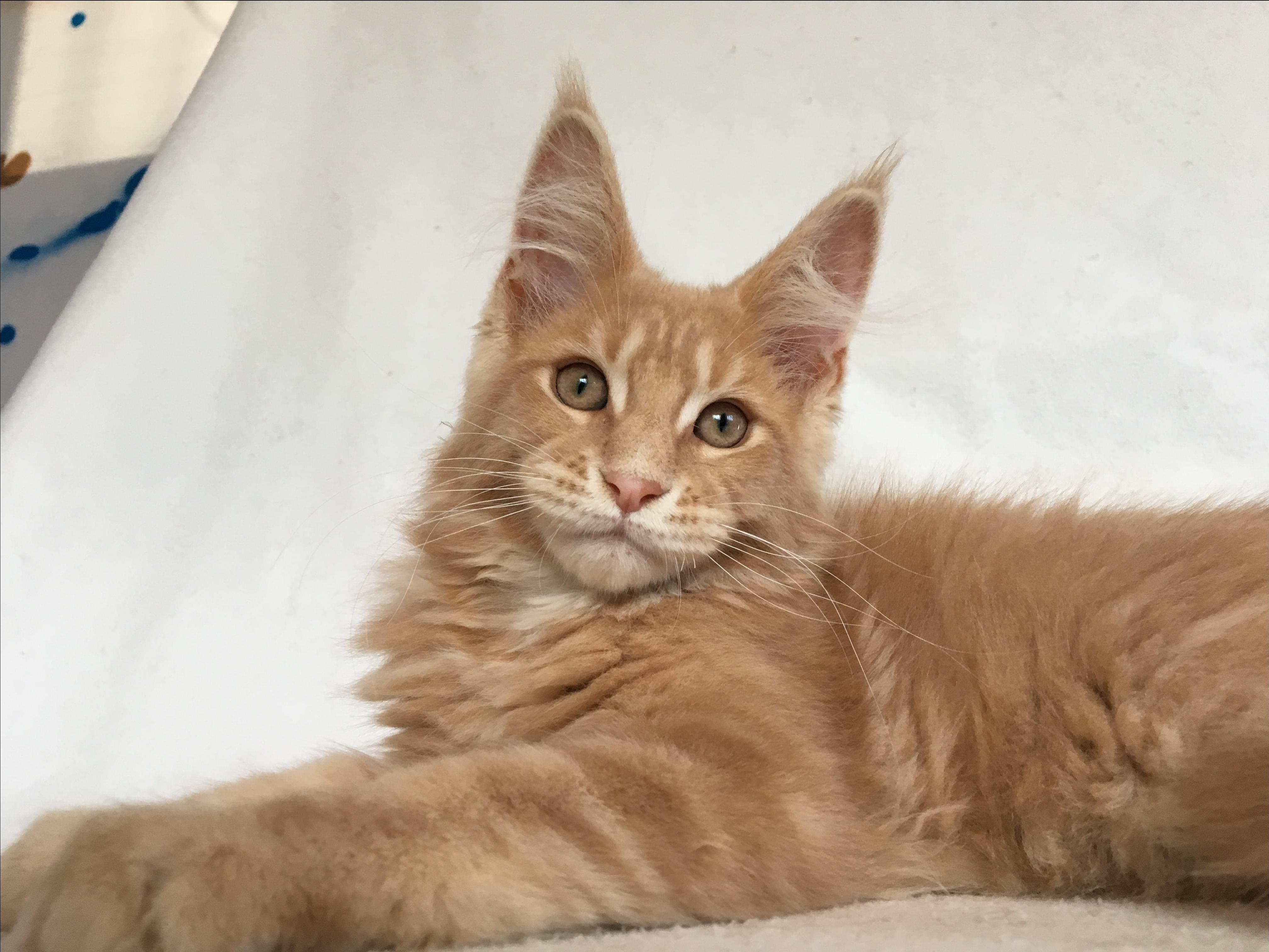 мэйкун фото котята метисы обычные