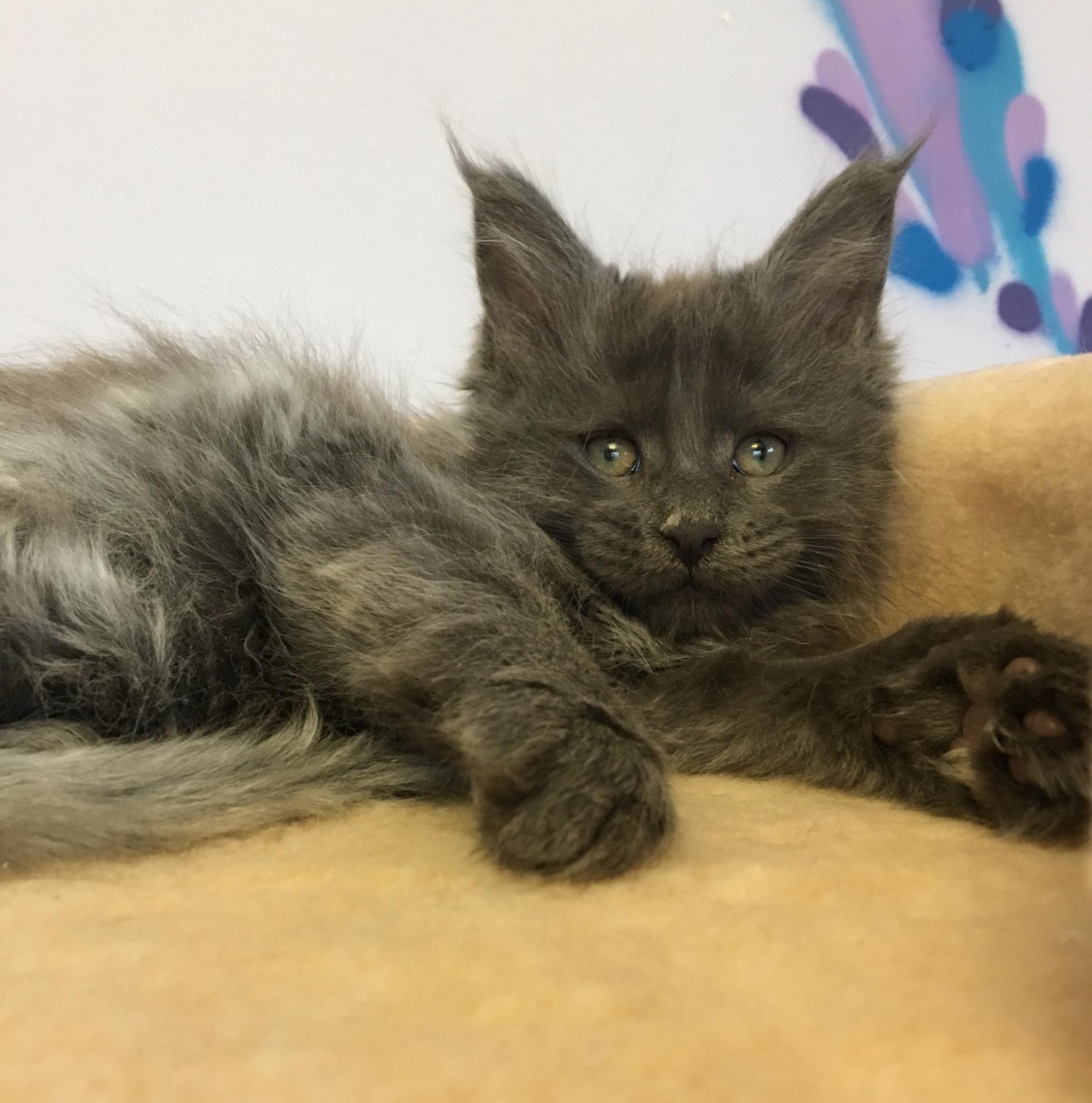 мэйкун фото котята метисы сада