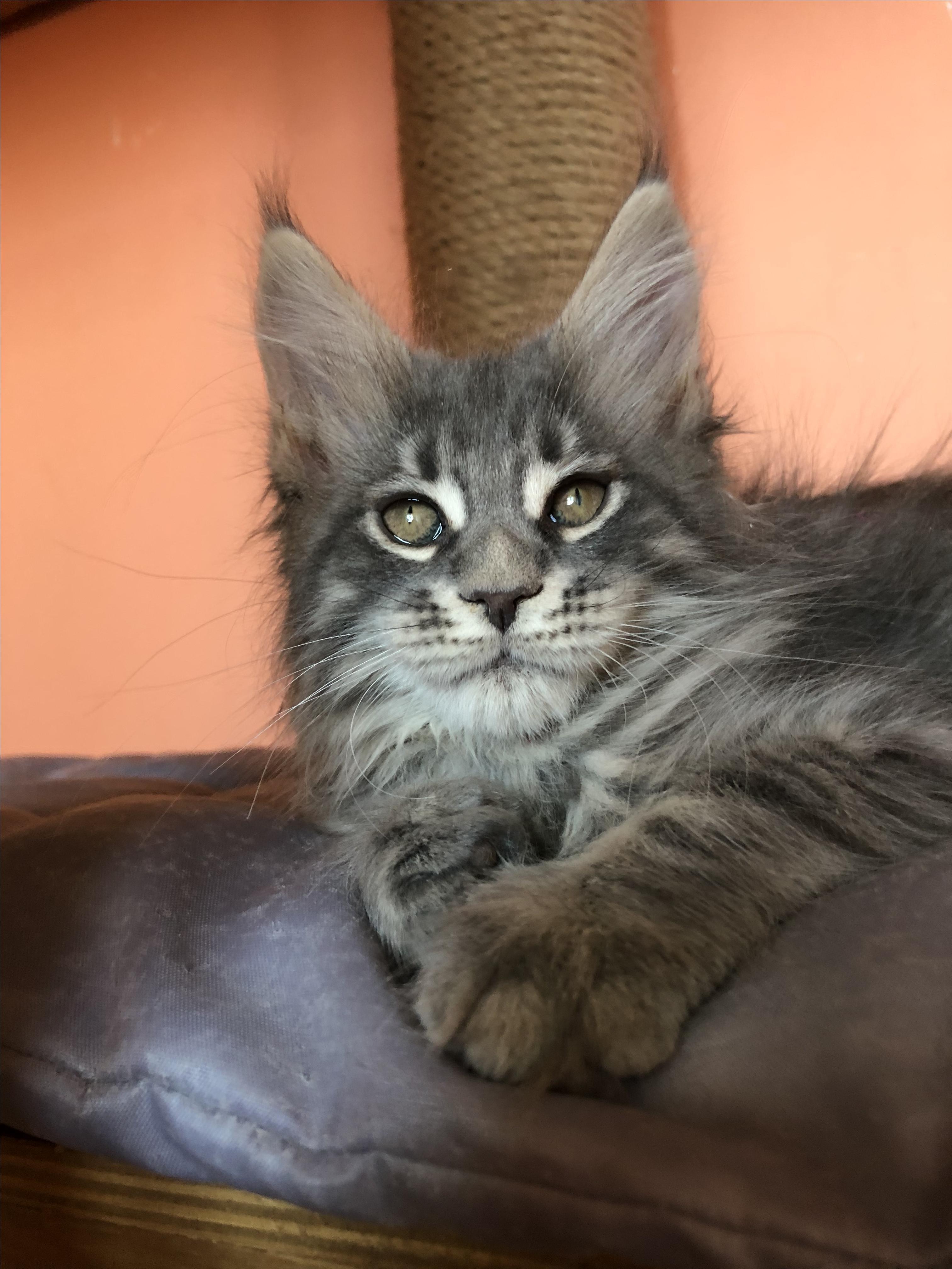 новоузенском районе помесь кошки мейкун и сибирская фото эта половина