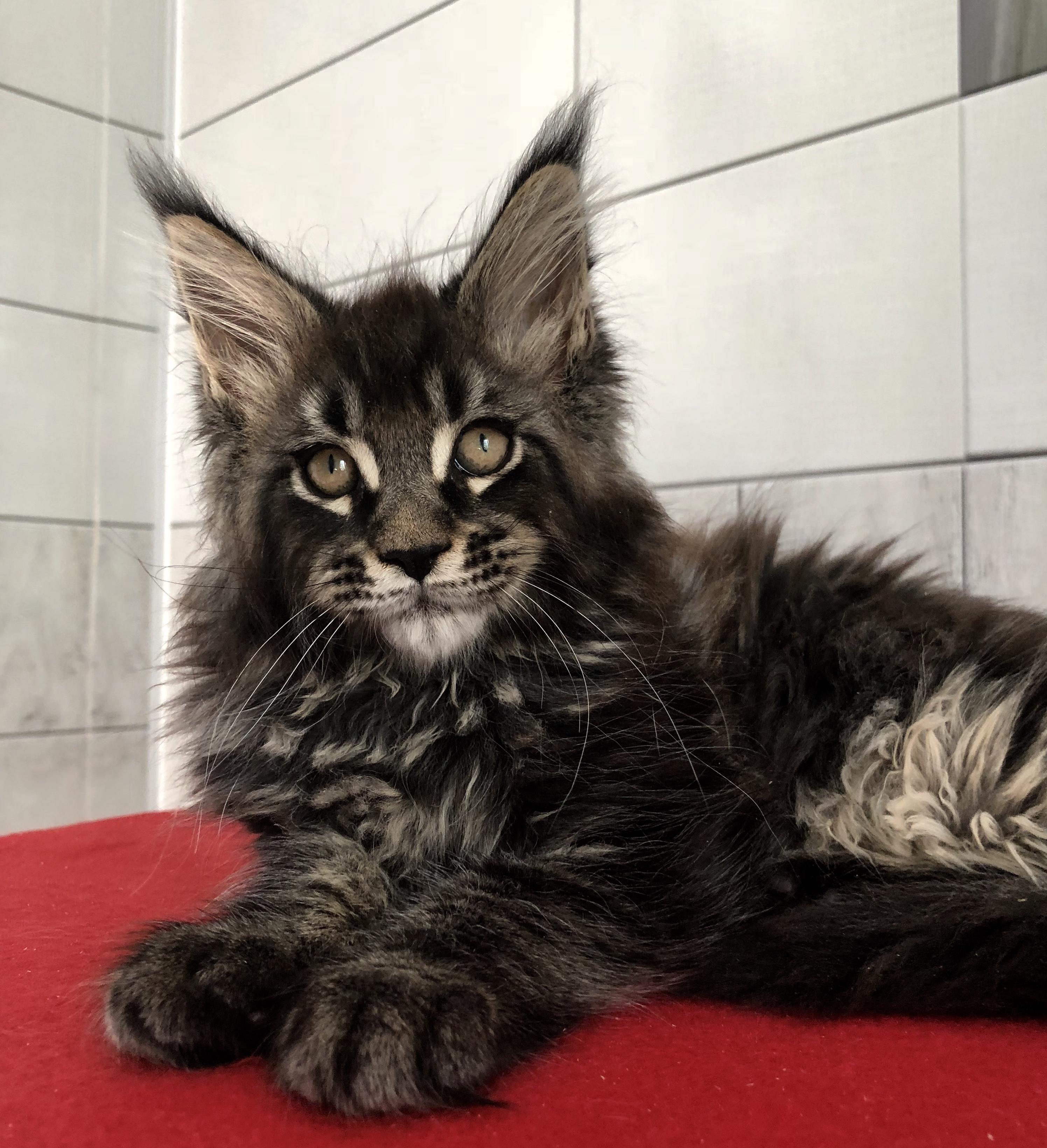 кошки и рыси майкуны черно белое фото даже стала