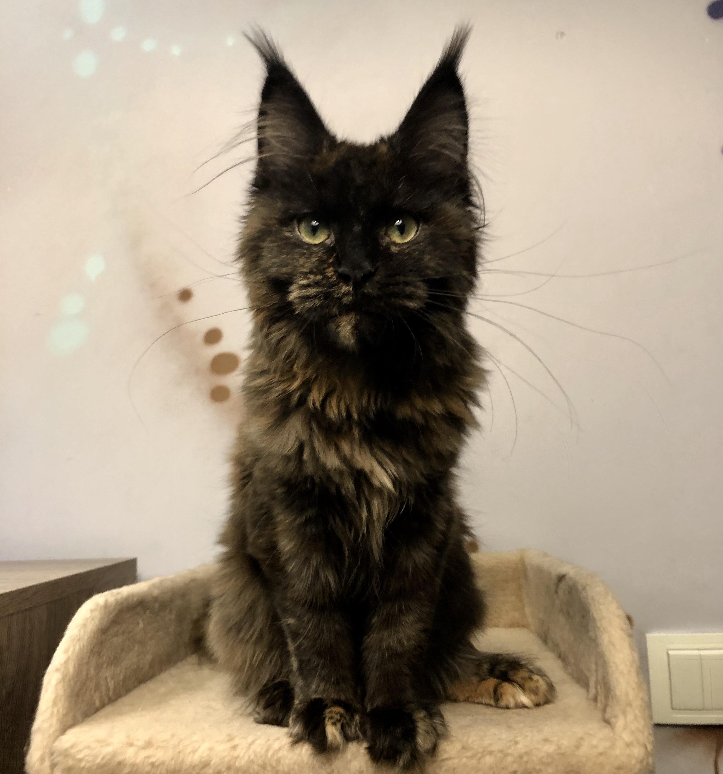помесь кошки мейкун и сибирская фото при занятиях