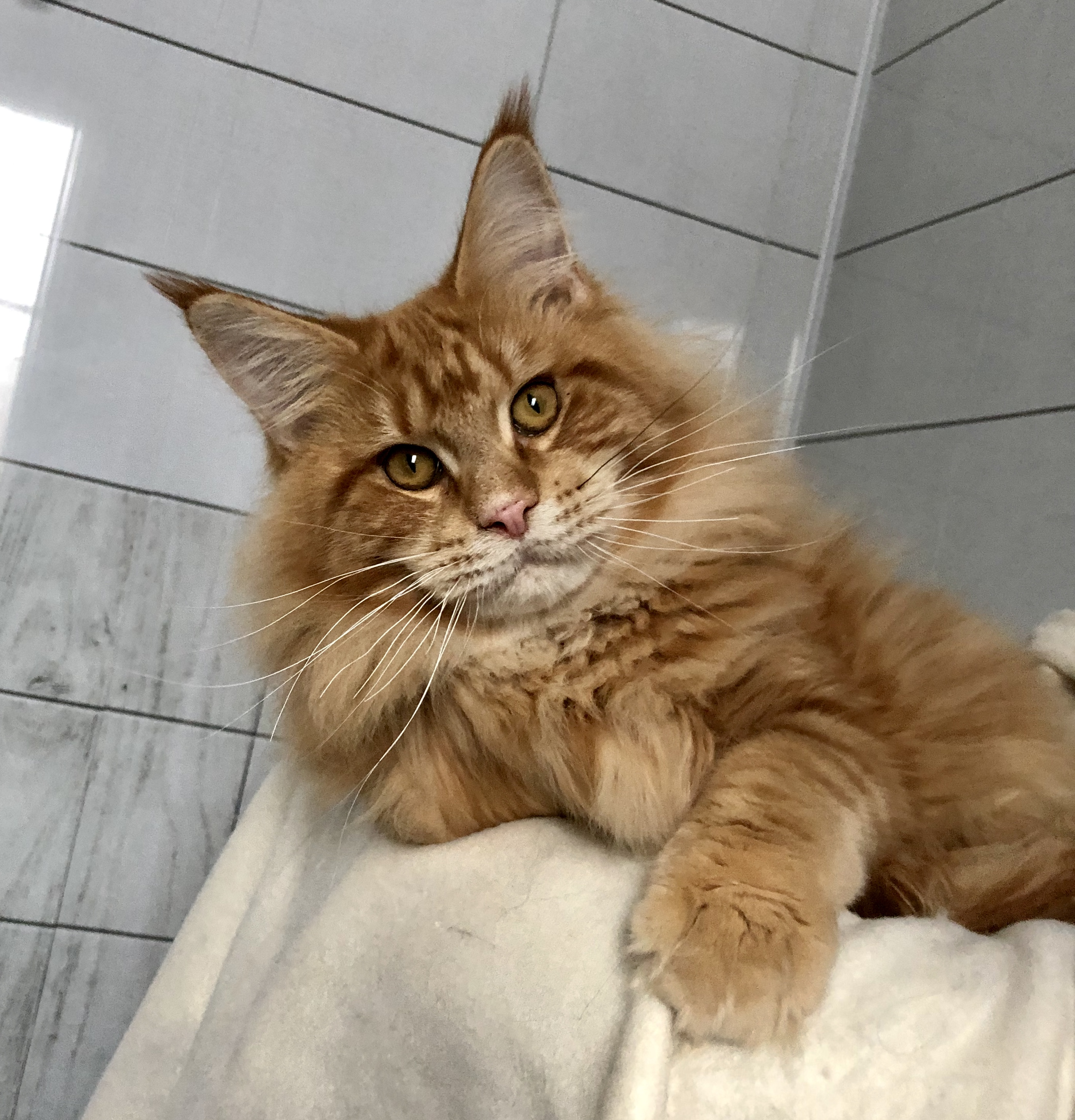 сердце начертили мейкун кошка фото вес бордового